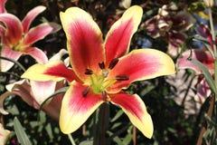 blomma lilly Arkivbild