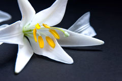 blomma lilly fotografering för bildbyråer