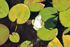 blomma lilly Royaltyfria Foton