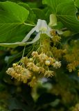 blomma linden Arkivfoton