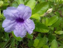 blomma linnruelliathailand tuberosa Royaltyfri Foto