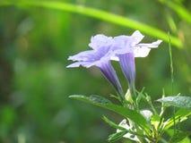 blomma linnruelliathailand tuberosa eller Waterkanon Lilor regnar blommablom i den regniga säsongen Fotografering för Bildbyråer