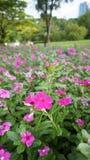 blomma little pink Arkivbild