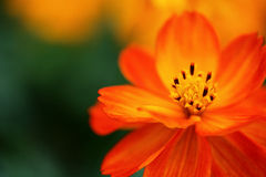 blomma little som är orange Arkivbild