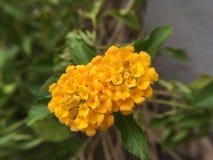blomma little yellow Arkivbild