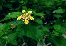 blomma little yellow Fotografering för Bildbyråer