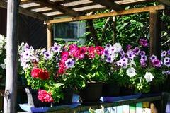 Blomma ljusa petunior i krukor som är utvändiga i sommaren royaltyfria bilder
