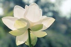 blomma lotusblomma Royaltyfria Bilder
