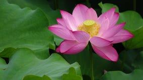 blomma lotusblomma stock video