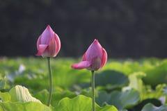 blomma lotusblomma Arkivbilder