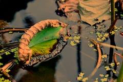 blomma lotusblomma Arkivfoto