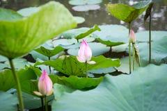 blomma lotusblomma Fotografering för Bildbyråer