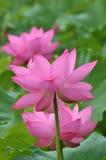 blomma lotusblomma Arkivbild