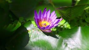 blomma lotusblomma arkivfilmer
