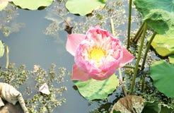 blomma lotusblomma royaltyfri bild