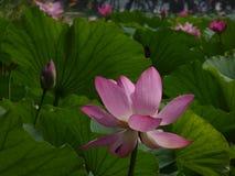blomma lotusblomma Royaltyfri Foto