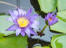 blomma lotusblomma Royaltyfria Foton