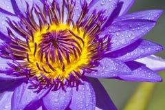 blomma lotusblomma thailand Royaltyfri Fotografi