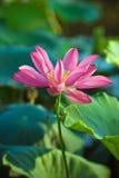 Blomma lotusblommablomma Fotografering för Bildbyråer