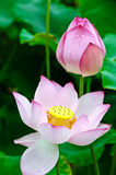 Blomma lotusblommablomma Arkivbild