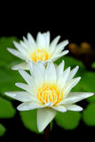 blomma lotusblommawhite Royaltyfria Foton