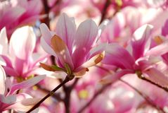 blomma magnolia Arkivfoto