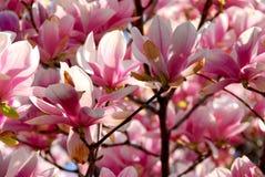 blomma magnolia Royaltyfri Fotografi