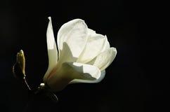 blomma magnoliawhite Arkivfoton