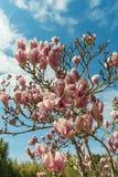 Blomma magnolior i Ryssland Sochi stad Det Adler omr?det parkerar av sydliga kulturer royaltyfria foton