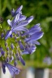 Blomma (makro) Arkivfoto