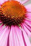 blomma makropinken Royaltyfri Bild