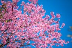 Blomma med blå himmel i vår på Chiangmai Thailand fotografering för bildbyråer