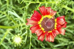 Blomma med den röda gula blomningen Fotografering för Bildbyråer
