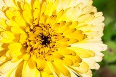Blomma med gula kronblad, makro vektor för detaljerad teckning för bakgrund blom- Arkivbilder
