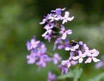 Blomma med humlan Arkivbilder