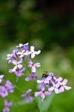 Blomma med humlan Royaltyfria Bilder
