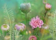Blomma med krysantemumet, och yarrow, blom- äng, planterar dekorativ försiktig och bräcklig blom- illustration för bakgrund, blom Fotografering för Bildbyråer
