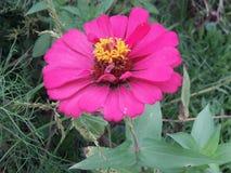 Blomma med naturliga Daliya arkivbilder