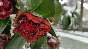Blomma med snö Arkivfoto