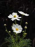 Blomma med svart bakgrund Arkivbild