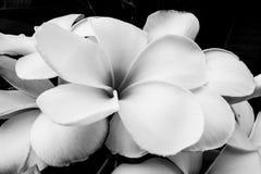 Blomma med svartvit färg Arkivbild