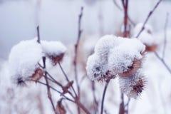 Blomma med taggkardborren i vinter fotografering för bildbyråer