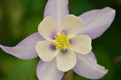 Blomma med vita och purpurfärgade kronblad Royaltyfri Foto