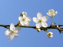 blomma mirabellen Royaltyfria Foton