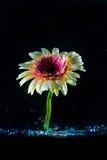 Blomma mot mörk bakgrund i vattnet Arkivfoto
