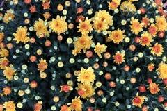 blomma mums royaltyfri fotografi