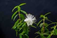 Blomma myrten arkivbild