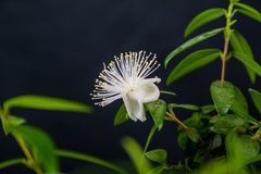 Blomma myrten royaltyfri foto