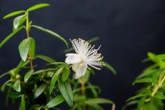 Blomma myrten arkivfoton