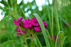 Blomma nejlikan i högt gräs fotografering för bildbyråer